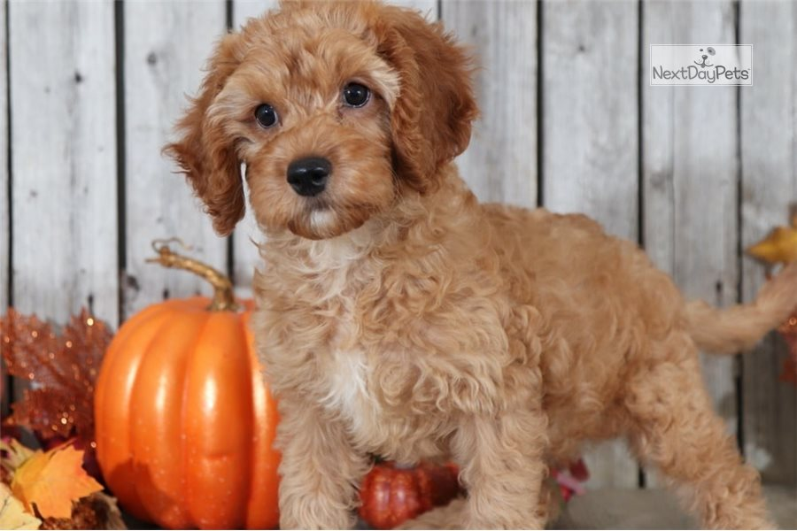 goldendoodle haircut my favorite dog doodle and lewis goldendoodle mini puppy for sale near columbus