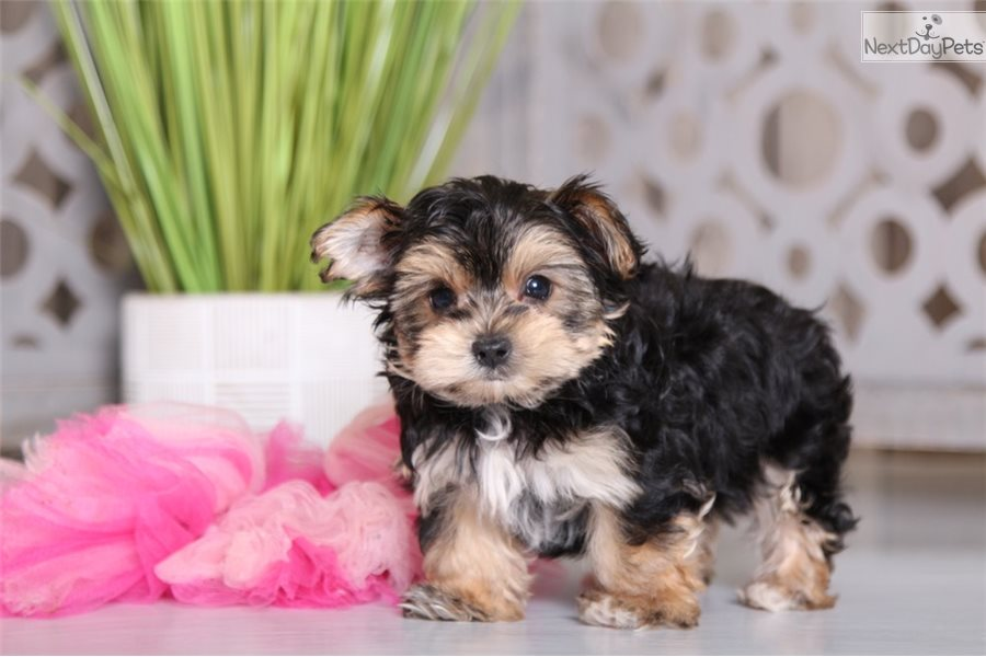 Mable: Morkie / Yorktese puppy for sale near Columbus, Ohio