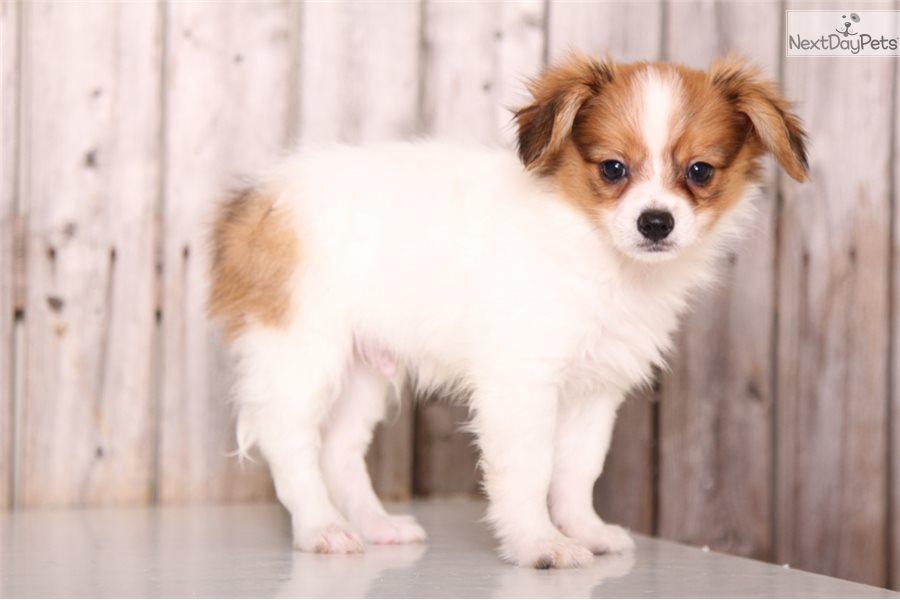 Tiny Papillon Puppy For Sale Near Columbus Ohio 1822a609 A681