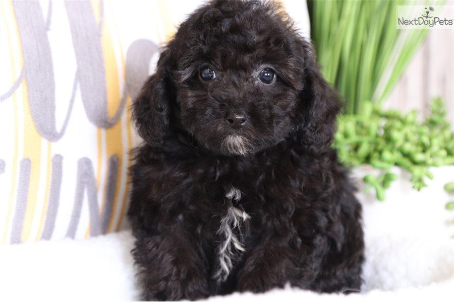 Poodle Miniature Puppy For Sale Near Columbus Ohio