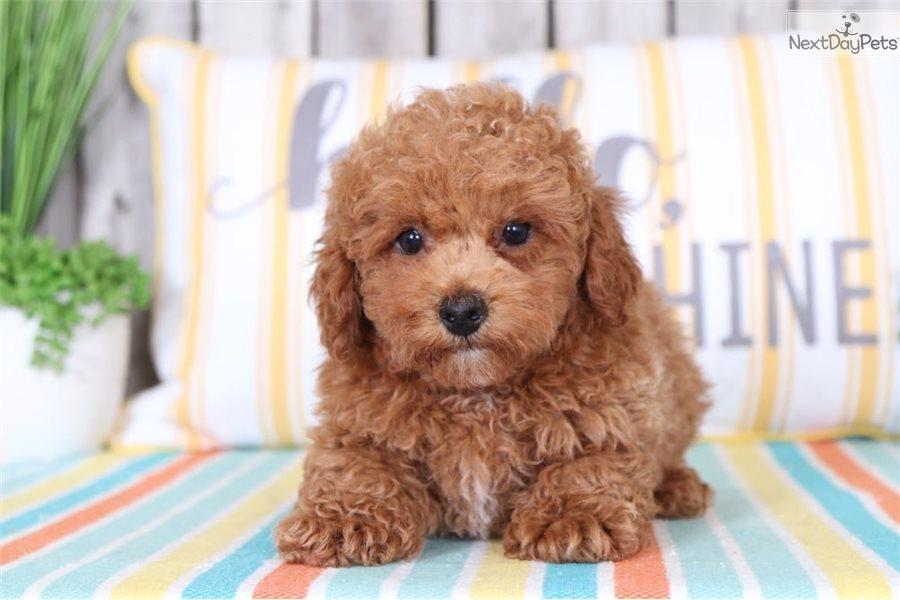 Oscar Poodle Toy Puppy For Sale Near Columbus Ohio