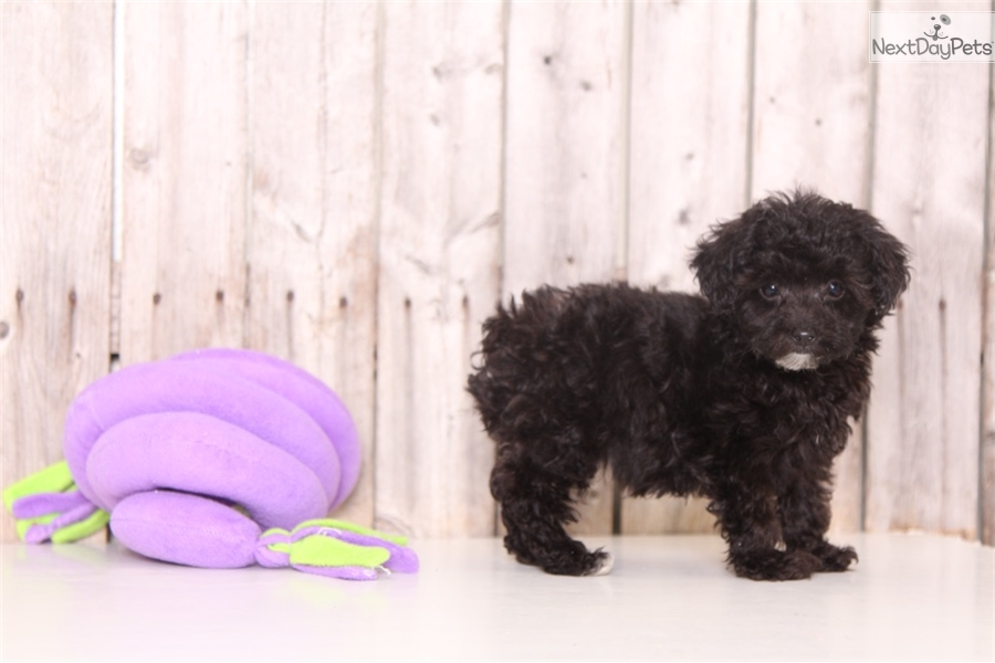 Pepper: Poodle, Toy puppy for sale near Columbus, Ohio | 461dff3c-04a1