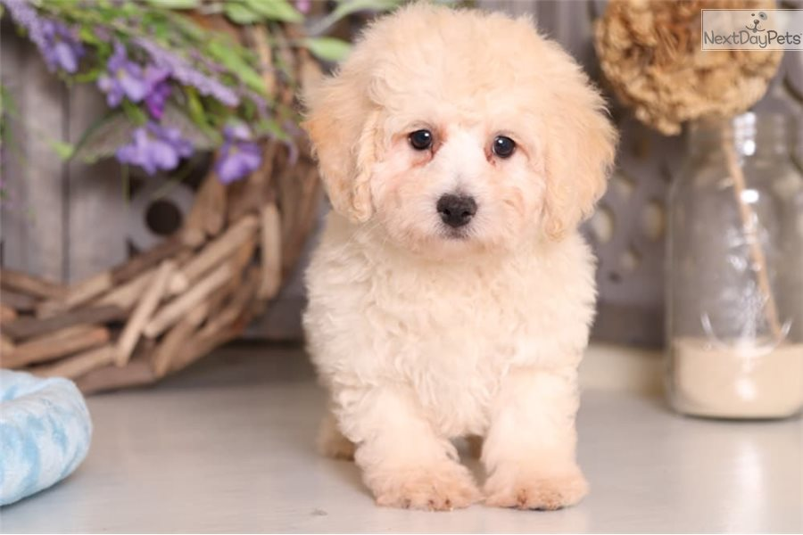 Winston Poodle Toy Puppy For Sale Near Columbus Ohio