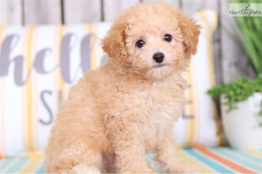 Miles Poodle Toy Puppy For Sale Near Columbus Ohio
