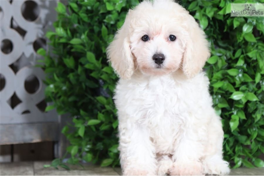 Petra Poodle Toy Puppy For Sale Near Columbus Ohio
