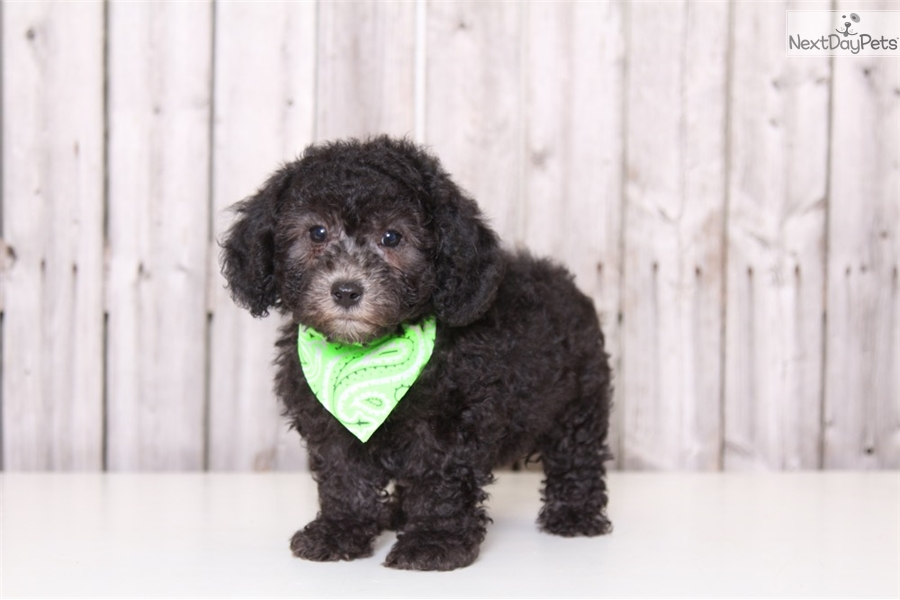 Sparky Poodle Toy Puppy For Sale Near Columbus Ohio