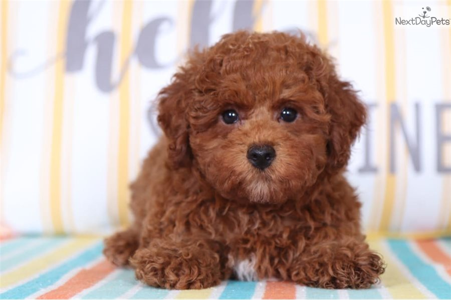 Ranger Poodle Toy Puppy For Sale Near Columbus Ohio