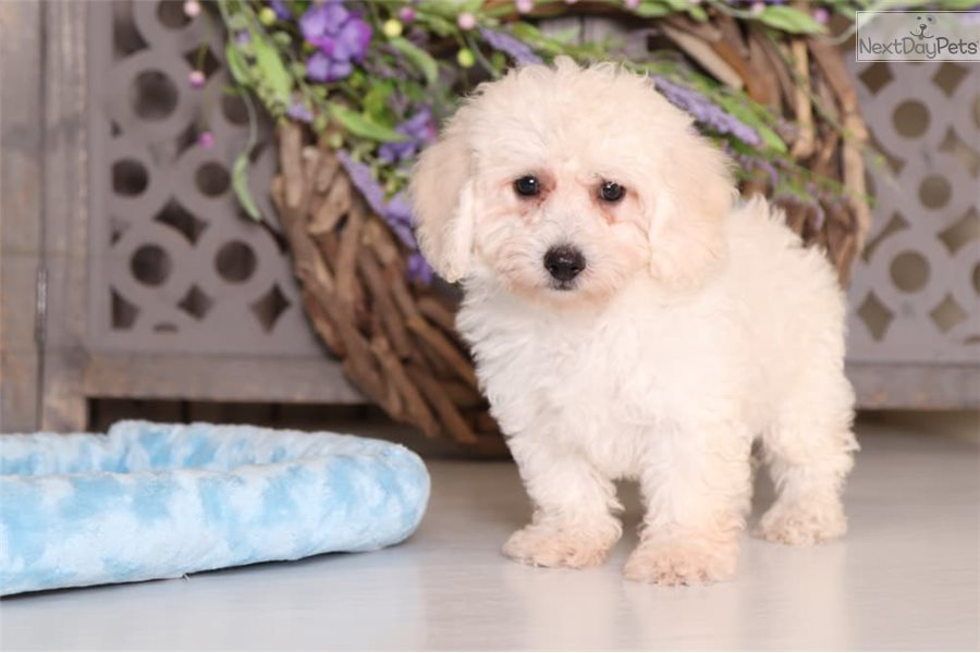 Ollie Poodle Toy Puppy For Sale Near Columbus Ohio