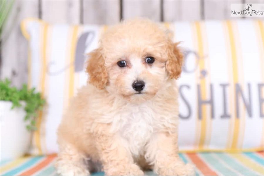 Slater Poodle Toy Puppy For Sale Near Columbus Ohio