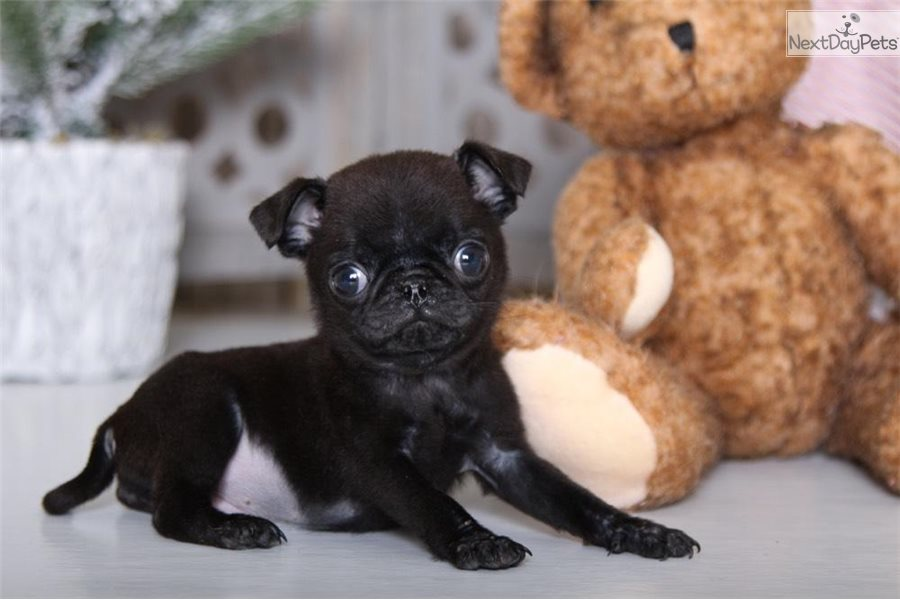 Bigsby Pug Puppy For Sale Near Columbus Ohio 9e9b5d0a 6de1