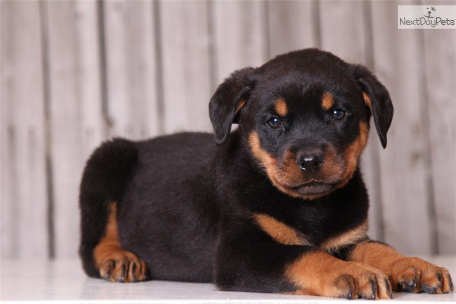 rottweiler puppies for sale ohio