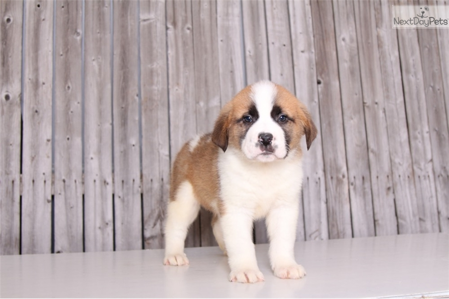 Saint Bernard St Bernard Puppy For Sale Near Columbus Ohio C5ca8c28 2b61