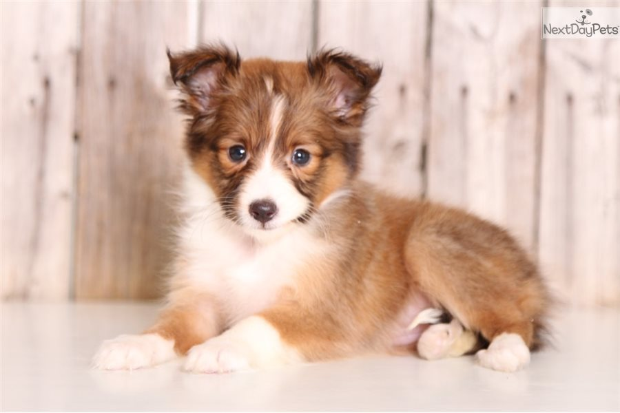 Ginger Shetland Sheepdog Sheltie Puppy For Sale Near Columbus