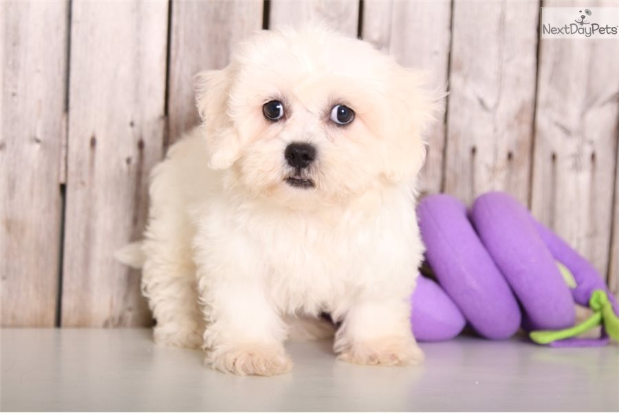 Shichon Dogs For Sale In B C