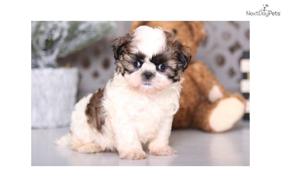 Murphy Shih Tzu Puppy For Sale Near Columbus Ohio 1d8c4424 D881