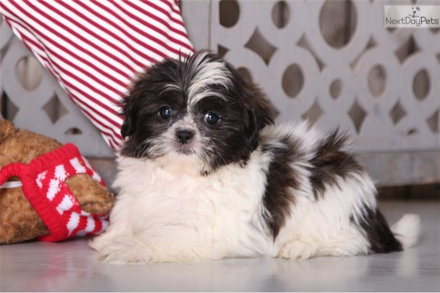 Peggy Shih Tzu Puppy For Sale Near Columbus Ohio Dec3a5c5 F6e1