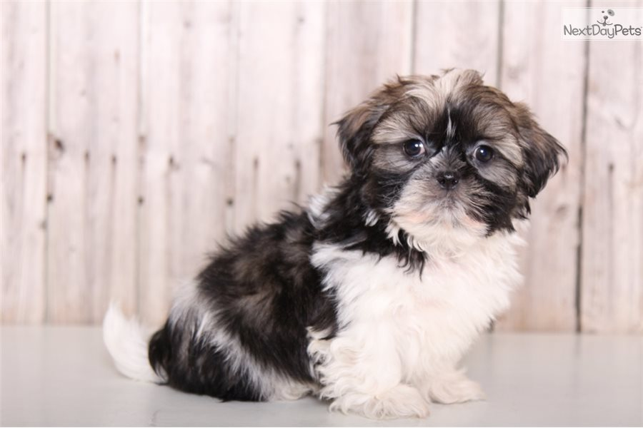 Sid Shih Tzu Puppy For Sale Near Columbus Ohio Fb03c9d2 5d31
