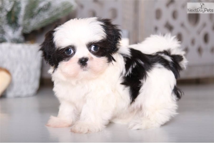 Walter Shih Tzu Puppy For Sale Near Columbus Ohio 1ad198c6 6681
