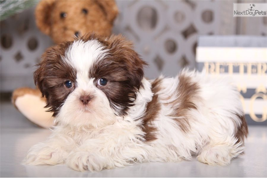 Romper Shih Tzu Puppy For Sale Near Columbus Ohio 2b93283f 1461