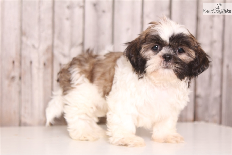 Buster Shih Tzu Puppy For Sale Near Columbus Ohio 20481146 9921