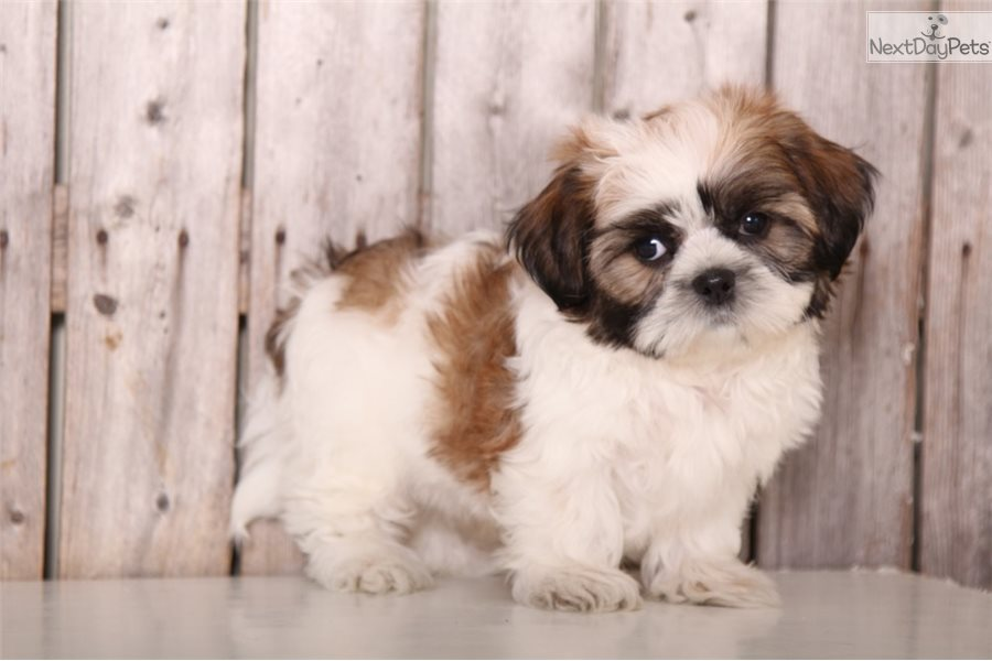 Porter Shih Tzu Puppy For Sale Near Columbus Ohio 842897a4 A4a1