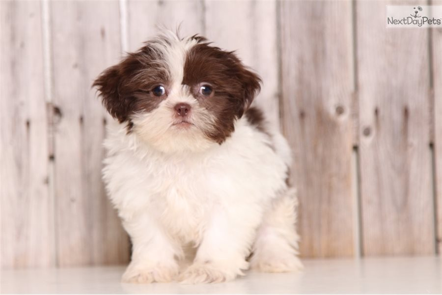 Destiny Shih Tzu Puppy For Sale Near Columbus Ohio A828c2ba C8f1