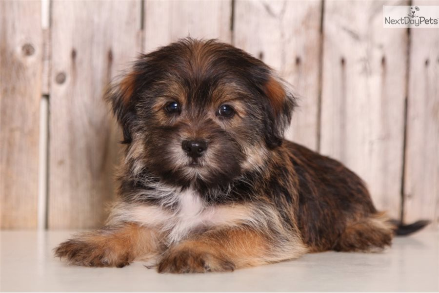 Scooter: Shorkie puppy for sale near Columbus, Ohio | bca5a2f9-cdc1
