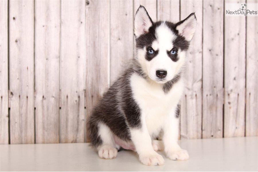 Rocky Siberian Husky Puppy For Sale Near Columbus Ohio D8559a7a F911