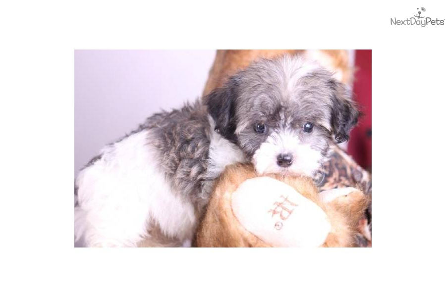 Havanese puppy for sale near Mansfield, Ohio | 7542f4a8-d911
