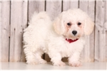 Cooper - Male Bichon Frise | Puppy at 12 weeks of age for sale