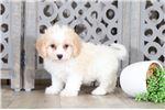 Picture of Ezra - Fun Cavachon Puppy