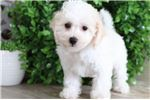 Picture of Upton - Spectacular Little Cavachon Puppy