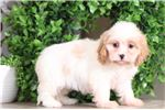 Picture of Ruthie - Sweetest Lhasa Chons