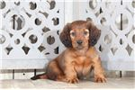 Picture of Junior – Male Long-haired Dachshund