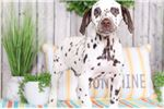 Picture of Dots - Handsome Liver-Colored Dalmation