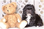 Picture of Betty – Friendly Lhasa Poo