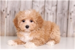 Picture of Blondie - Female Lhasapoo