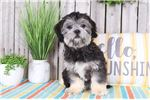 Picture of Ruthie – Friendly Lhasa Poo