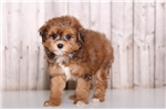 Picture of Chanel - Female Lhasapoo
