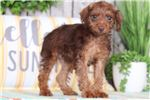 Ozzy - Rocking Mini Pin Poo | Puppy at 18 weeks of age for sale