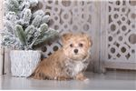 Picture of Christopher – Male Morkie