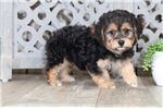 Jewel – Female Yochon | Puppy at 15 weeks of age for sale