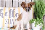 Picture of Wags - Happy Little Papillon - FREE SHIPPING