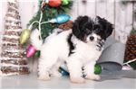Picture of Carl - Male Papichon Puppy