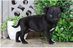 Picture of Onyx – AKC TOY Pug Puppy