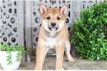 Picture of Opie - Handsome Shiba Inu