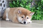 Picture of Peggy - Adorable Shiba Inu Pup