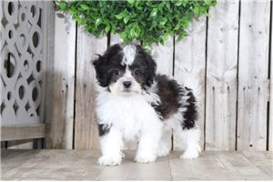 Shichons for sale