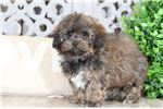 Picture of Lux – Female Shih-Poo