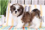 Picture of Frisco - Cuddly Shih Tzu